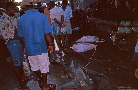 Leopard shark & stingrays at Negambo fishing harbour