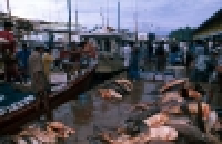 Beruwela fishing harbour. Fishing boat unloading sharks