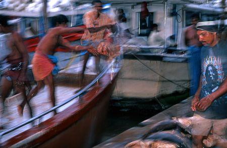 Beruwela fishing harbour. Boat unloading sharks