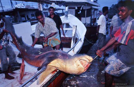 Negombo fishing harbour. Shark fishing