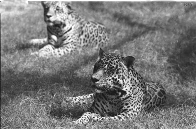 0011_lepoards_delhi_zoo
