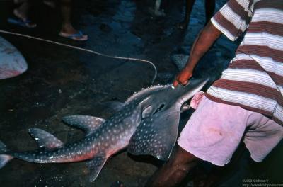 Negambo fishing harbour. Leopard shark