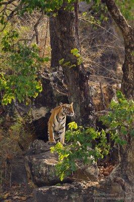 Tiger Spotting prey